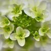 淡緑の花房