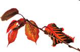 紅葉から枯葉へ