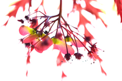 紅葉 花柄・実・葉影