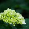 NIKON NIKON 1 J2で撮影した(これから咲く花)の写真(画像)