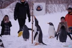 ペンギンの雪中さんぽ 僕の旗!