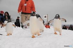 ペンギンの雪中さんぽ 2回目スタート