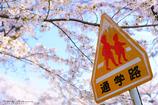 桜並木の通学路