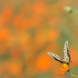 Butterfly In Yellow...Ⅱ
