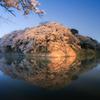 Sakura Reflection...