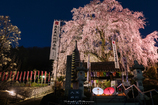 しだれ桜の林陽寺