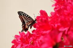 キリシマツツジにアゲハチョウ
