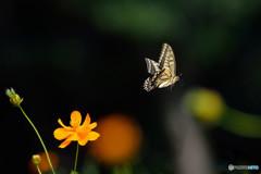 キアゲハの飛翔
