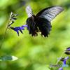 ナガサキアゲハの飛翔