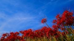 青空と彼岸花