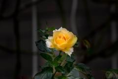 季節を超えて‥晩秋の薔薇