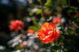 ふんわりキラキラ秋の薔薇