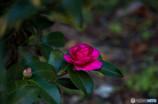 冷たい赤・・冬の花