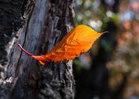 ♫ 今年の秋は、いつもの秋よぉ~りぃ~ ♪