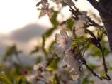 哀愁の時、夕景に終焉桜