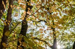 黄葉も森の華・・