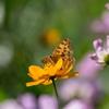 秋色の中で‥タテハチョウ