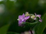 梅雨だから・・紫陽花