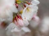 今日の雨は、桜雨