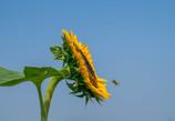 夏の定番 青と黄色と・・熱風(;^_^A