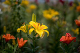 ゆりの季節のゆりの花・・
