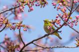 桜が咲けば、メジロもニッコリ(^^♪