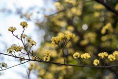 キラリ山茱萸‥春景色