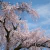 きょうはしだれて・・咲く桜(-^^-)b