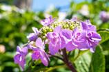 陽射しも似合う梅雨の花