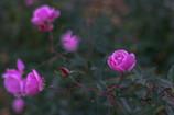 寒い季節も薔薇の花
