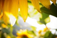 向日葵畑での秘密