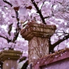 「刹那の桜」