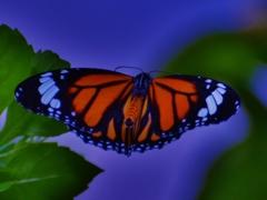 ツマベニチョウの飛翔
