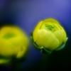 「春の先駆け」