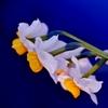 「せせらぎに咲く日本水仙」
