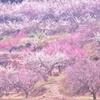 「春爛漫」 ~Ta_Teさんへ~