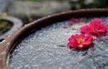 雪と氷と山茶花