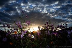 咲き誇る秋桜の夜明け