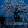 眠れる大糸桜