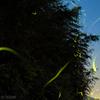 竹藪と星と蛍