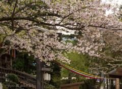 山寺、立石寺の桜