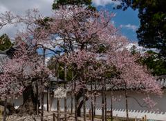 松島、瑞巌寺の臥龍梅(紅)