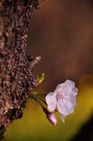 北本の胴吹き桜
