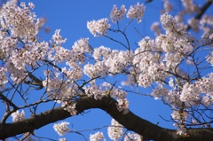Blossoms in Spring blue