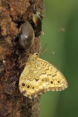 樹液のヒカゲ蝶