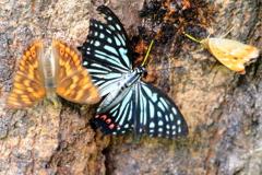 せめぎ合う蝶