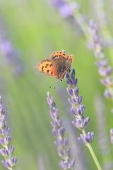 ラベンダーに咲く蝶