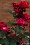薔薇と煉瓦