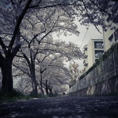 桜スナップ5