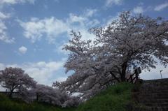 桜スナップ2